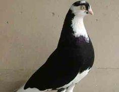 Galatz Roller Pigeon