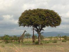 Mikumi National Park in Morogoro,Tanzania Serengeti National Park, Overseas Travel, Kilimanjaro, African Safari, East Africa, World Heritage Sites, Republic Of The Congo, Mars, Wander