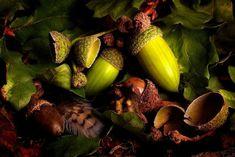 Η Υγεία, ο Έρωτας καί η Ψυχική Υγεία: Ναι Μπορείτε να Φάτε Βελανίδια - Sì, puoi mangiare... Acorns To Oaks, Aquarium Screensaver, Hubert Reeves, Tropical Fish Aquarium, Acorn And Oak, Pumpkin Squash, Squashes, Autumn Decorating, Oak Leaves