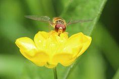 Kostenloses Foto: Schwebfliege, Butterblume, Makro - Kostenloses Bild auf Pixabay - 792337