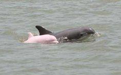 Pink albino bottlenose dolphin