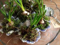 Muscari cup cakes