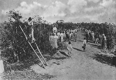 Brazilian coffee farm in the early of 20th century