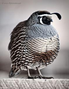 quail. Asdfgjkl quail.