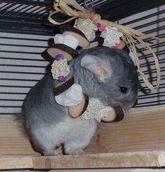 Home - Whimsy's Menagerie & Chinchilla Rescue