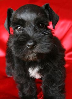 Schnauzer Pup. All I want for Christmas is you!!