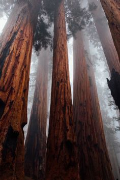 """magentabohemiansoup: """" expressions-of-nature: """"Sequoia National Forest by Victoria Palacios """" """"The earth functions like a living being…"""" – Starhawk """" Forest Wallpaper, Tree Wallpaper, Nature Wallpaper, Sequoia National Park, National Forest, Landscape Photography, Nature Photography, Worms Eye View, Minimalist Landscape"""