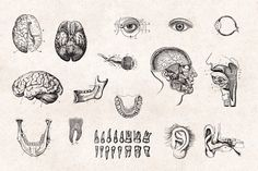 Anatomy Engravings Set by Graphic Goods on @creativemarket