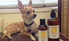 Andrea Flanaghan's dog Lila, a two year-old Chihuahua-Mini Foxie cross, is washed with palm oil free shampoo.