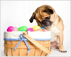 easter pug - Google Search