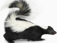 Image Gallery skunk nose