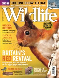 In the latest issue of <strong>BBC Wildlife: </strong>    <em>- Britain's RED revival:</em> Bright-eyes and bushy tales in our 8-page photo story!   - Winter Wildlife: How to get the best views of our garden visitors  - Nick Baker investigates an eerie glowing plant   - <em>Revealed!</em> The blogger of the year winner.   - Budgerigars as you've never seen them before!   - Cornwall's Success Story