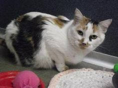 Missy is an adoptable Domestic Short Hair Cat in Fort Dodge, IA. ' Almost Home... Until They Are All Home For Good ' Missy is a beautiful 6 year old white domestic shorthair with calico markings.� She...