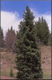 Engelmanninkuusi (Picea engelmannii)
