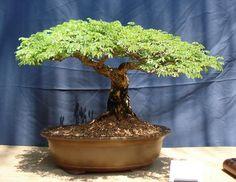 flamboyan bonsai | FLAMBOYAN (Delonix regia) - Foro de InfoJardín