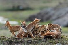 A critical factor in the preservation of the Ethiopian wolf is the commitment and dedication to finding common ground between the needs of people and wildlife.