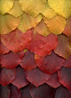 54821 Fothergilla major by horticultural art, via Flickr