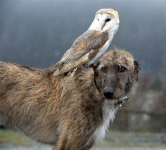 """Magical mates: Owl hitches a ride on dog's back Willow and Merlin became fast friends three months ago when the owl's daily exercise was combined with the dog's walk. Now the unlikely pair are a familiar sight to residents of North Wales."""