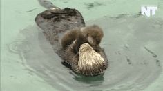 The Cutest Otter GIFs Ever to Ease the Pain of Brad Pitt and Angelina Jolie's Breakup When they snuggle their babies.