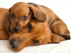 15 Reasons Why You Should Never Own Dachshunds http://www.pindoggy.com/pin/5569/