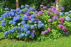 Bauern-Hortensie im Garten