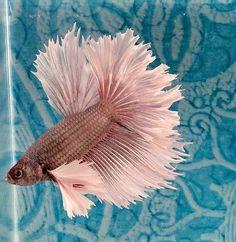 #56 Thai Import Fancy White Red Copper Male Dumbo Ears Halfmoon Betta Live Fish