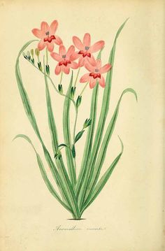 freesia - plant illustrations