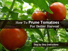 How To Prune Tomatoes For Better Harvest