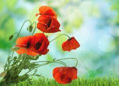 Takalo-Roppolan puutarha- ja mansikkatila: Unikon siemensekoitusta myynnissä Wall Murals, Poppies, Rose, Flowers, Plants, Wallpaper Murals, Pink, Murals, Wall Prints