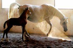 arabian mare with foal