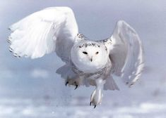 The Snowy Owl is a large white Owl with a rounded head, and barely visible ear-tufts. The name 'scandiacus' is a Latinised word referring to Scandinavia, as the Owl was first observed in the northern parts of Europe. Owl Who, Harry Potter Owl, Owl Wallpaper, Three Little Birds, Snowy Owl, Bird Feathers, Beautiful Creatures, Fur Babies, Drawings