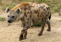 Gevlekte Hyena - Crocuta crocuta