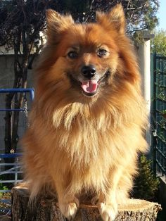 Chien - German Spitz - Indy, Iola, Inky & Minette on www.yummypets.com Dog, puppy, pooch, pets, pup, animals, Yummypets