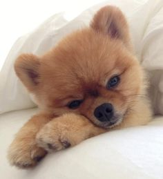 Jiff the Pomeranian Shows Off His Bag of Tricks. This wonder dog's best is melting our hearts by turning into a cuddly burrito.