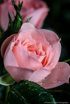 Rose 'October Pink'