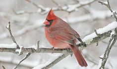Minus 20 on the thermometer, but seeing this red bird warmed us right up!