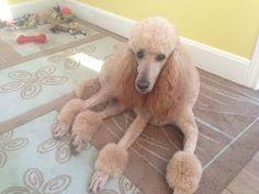 After the spa Poodles, Spa, Dogs, Animals, Animales, Animaux, Doggies, Toy Poodles, Animal