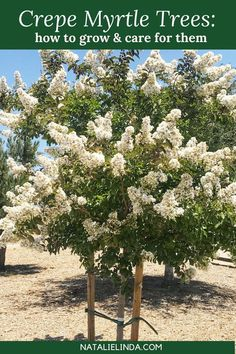 How to Grow Crepe Myrtle Trees - Natalie Linda Crepe Myrtle trees produce large clusters of flowers Crepe Myrtle Landscaping, Landscaping Plants, Front Yard Landscaping, Landscaping Design, Crepe Myrtle Bush, Crepe Myrtle Trees, Front Yard Planters, Trees For Front Yard, Garden Trees