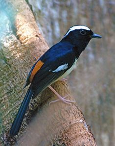 white-browed shama is a species of bird in the Muscicapidae family. It is endemic to the Philippines.