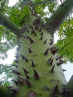The thorny Ceiba Tree, Common Name is Kapok, Native to Mexico