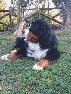 Untitled #BerneseMountainDog