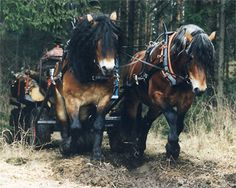 I would love one of these they are the cutest darn thingsnorth swedish draft horses. I would love one of these they are the cutest darn things Most Beautiful Horses, Pretty Horses, Horse Love, Animals Beautiful, Beautiful Creatures, Cute Animals, Work Horses, Horse Carriage, Clydesdale
