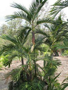 Pinanga philippensis