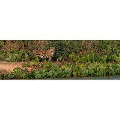 Jaguar (Panthera onca) walking in a forest Cuiaba River Pantanal Matogrossense National Park Pantanal Wetlands Brazil Canvas Art - Panoramic Images (6 x 18)