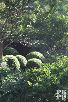 Raphiolepis indica 'Oriental Pearl' Cheltenham garden Maintained by Pepo Botanic Design Australian Garden, Flower Images, Garden Plants, Terrace, Oriental, Gardens, Pearls, Modern, Flowers
