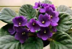 With their wonderfully shaped fuzzy leaves, their compact structure and their bright, beautiful blooms, African Violets (Saintpaulia) have the kind of charm that cheers up the environment and makes you smile. If you are new to growingAfrican violets at home or you just want to learn more about keeping them healthy and flourishing, here are …