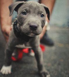 Pit bull baby