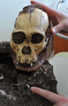 A South African scientist shows a tooth of <i>Australopithecus sediba</i> hidden in a rock excavated from an archaeological site three years ago. Also pictured is a copy of a skull of the same species that was discovered at the Malapa site in the Cradle of Humankind in 2009.