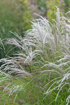 Silver Grass 'Kleine Fontane' • Miscanthus sinensis 'Kleine Fontane' • Morning Light 'Kleine Fontane' • Plants & Flowers • 99Roots.com