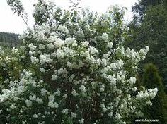 Bilderesultat for jasmin busk kjøpe Plants, Flora, Plant
